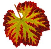 Wine_leaf_Fall01 免版税库存图片