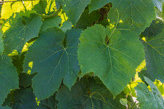 Wine Leafs Background Stock Image