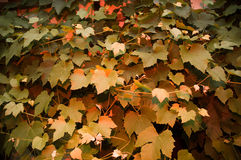 Wine leaves Stock Images