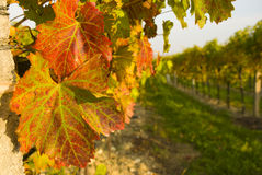 Wine leaves Royalty Free Stock Photos