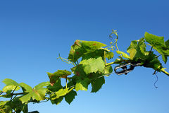 Wine-leaves of grapevine Royalty Free Stock Image