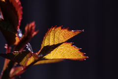 Wine leaves in selective focus Stock Photography