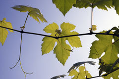 Wine leaves in the sun Royalty Free Stock Photo