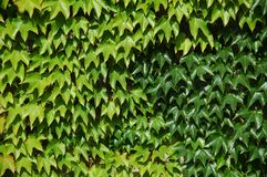 Wine Leaves on a wall. Green wine leaves climbing up a wall Royalty Free Stock Photo