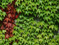 Wine Leaves on a wall. Green and red wine leaves climbing up a wall Royalty Free Stock Image
