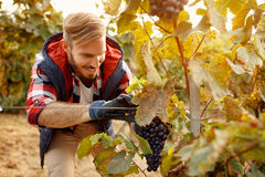Wine maker picking black grapes on autumn vineyard Stock Image