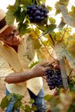 Wine maker picking red wine grapes on vine royalty free stock image