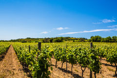 Wine making grape vine vineyard in sunny southern France with gravel soil Royalty Free Stock Photo