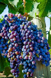 Wine-making grapes. Closeup of  wine-making grapes on the vine on a sunny day ready for harvesting Royalty Free Stock Photo