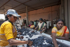 Wine making process with red grapes Royalty Free Stock Photography