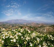 Wine and Olive field Royalty Free Stock Images