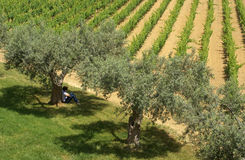 Wine olive vinery. Vineyard and Olive tree, on sicily - with women sitting under the tree Royalty Free Stock Images