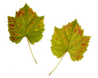Wine. one leaf - two sides Stock Image