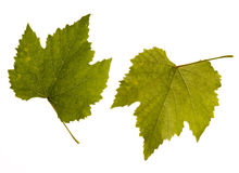 Wine. one leaf - two sides Royalty Free Stock Photos