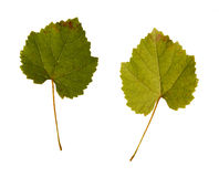 Wine. one leaf - two sides Stock Photos