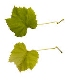Wine. one leaf - two sides Royalty Free Stock Photo