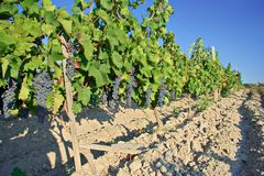 Wine orchard in Macedonia Royalty Free Stock Photo