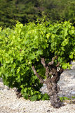 Wine plant Royalty Free Stock Photos