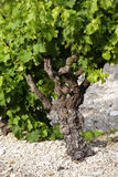 Wine plant Royalty Free Stock Photography