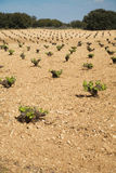 Wine plant field Royalty Free Stock Photo