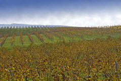 Wine plant hill. Landscape of wine plants in sicily and sky royalty free stock image