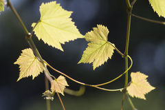 Wine plant Stock Photo