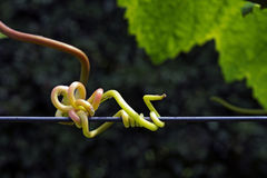 Wine plant stick to metal wire Royalty Free Stock Image