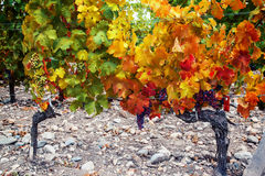 Wine plantation Royalty Free Stock Photos