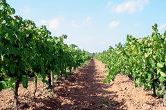 Wine plants. Grape plants for making wine Royalty Free Stock Images