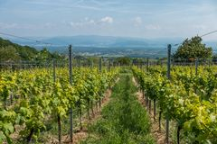 Wine plants in the black forest Stock Photography
