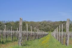 Wine plants growing in Istria. Landscape with vineyards in the south of Istria royalty free stock image