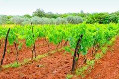 Wine plants Stock Image