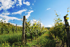 Vineyard in Monferrato, Piemonte, Italy Royalty Free Stock Images