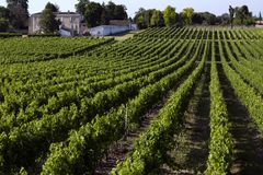 Wine Production - Vineyard - Dordogne - France stock images