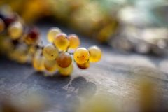 Wine raisins grapes on wine barrel. In the vineyard at harvesting time stock image
