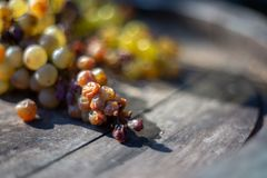 Wine raisins grapes on wine barrel. In the vineyard at harvesting time royalty free stock images