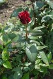 Wine red flower of garden rose Stock Photos