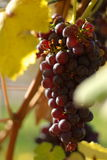 Wine red grape Stock Photography