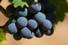 Wine red grape, ripe on the vines and ready to harvest and wine Royalty Free Stock Image