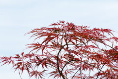 Wine-red leaves of the Japanese maple tree, left free Royalty Free Stock Photography