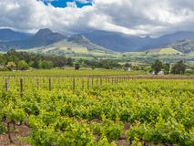 Wine region - Franschhoek - Vineyards with dramatic mountains and sky in background around Franschhoek Royalty Free Stock Image