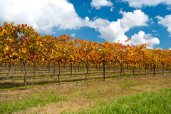 WIne Region near Canberra, Australia. This image shows colourful vines in the WIne Region near Canberra, Australia stock image