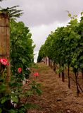 Wine and Roses. Vineyards in Napa Valley Royalty Free Stock Photos
