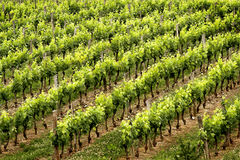 Wine rows. French vineyard near the canal lateral Stock Photo