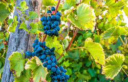 Wine season Stock Images