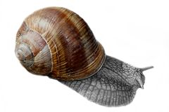 Wine Snail. Close up of a wine snail. Isolated against a white background Stock Images