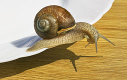Wine snail. Stock Photo