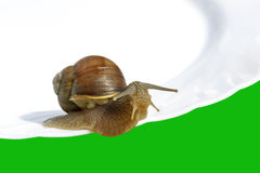 Wine snail. Royalty Free Stock Photo