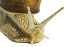 Wine snail. Royalty Free Stock Images