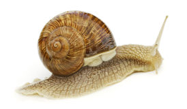 Wine snail. Royalty Free Stock Photos